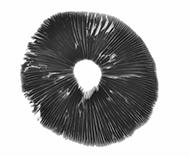 Impresiones Psilocybe cubensis