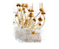 Kits de cultivo MycoMate®